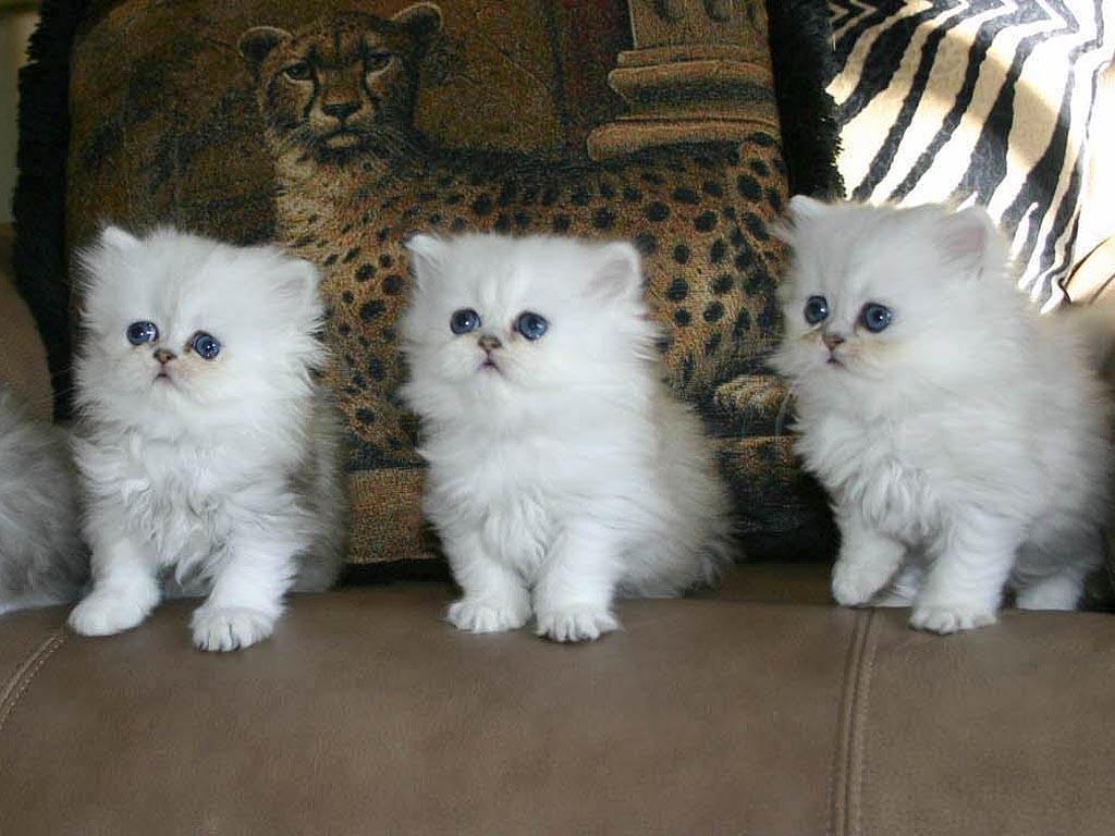Cara Merawat Anak Kucing Persia Umur 1 3 Bulan Lengkap