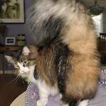 Bentuk Ekor Kucing Maine Coon Seperti Kemoceng