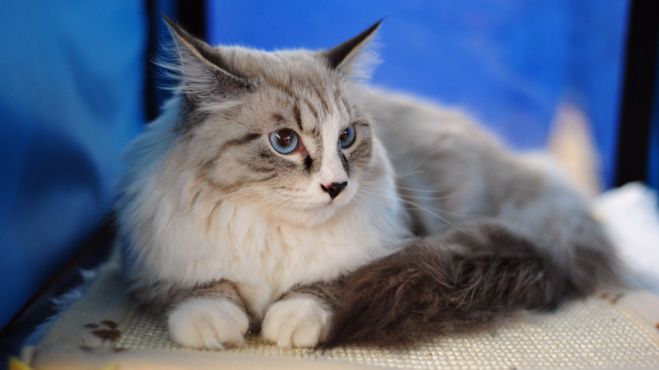 Gambar Kucing Maine Coon yang Cantik
