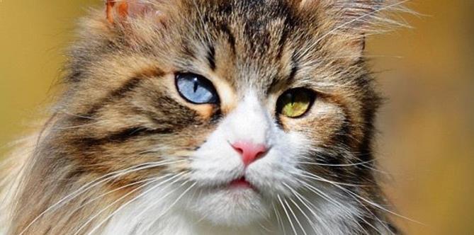 Mata Kucing Maine Coon