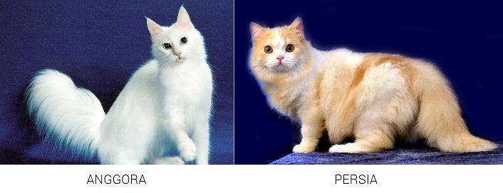 Gambar perbedaan fisik kucing anggora dan persia