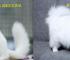Gambar Perbedaan Kucing Anggora dan Persia
