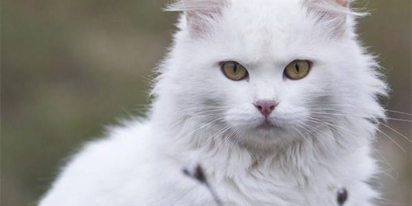 Harga Adopsi Kucing Anggora Asli Putih Mahal