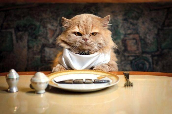 Gambar Unik Kucing Makan Layaknya Manusia