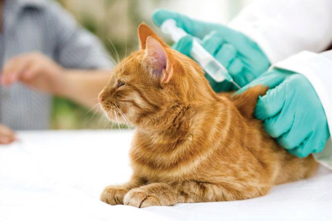 Kucing Diberi Vaksin Supaya Sehat