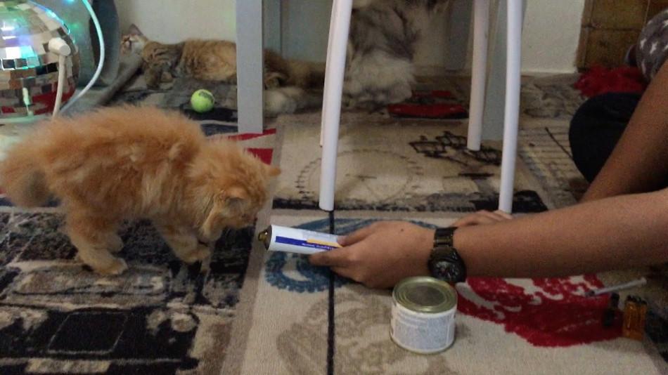 Cara Menggemukkan Kucing dengan Memberikan Vitamin untuk Kucing