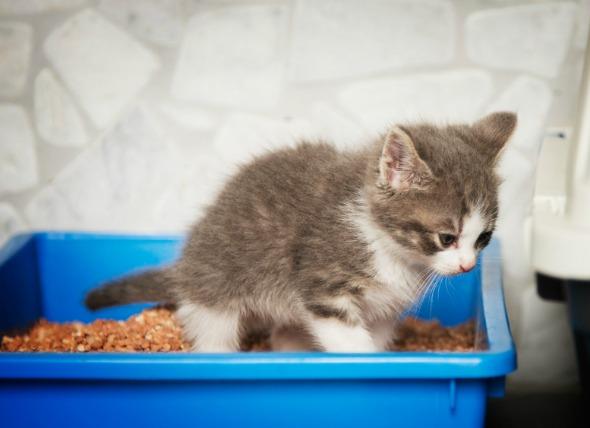 Gambar Anak Kucing Sedang Mencret
