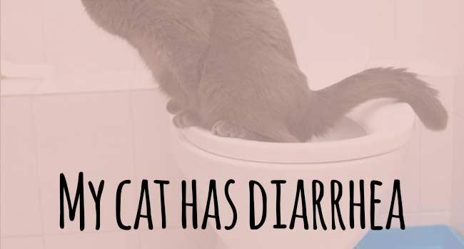 Cara Mengobati Kucing Mencret dan Penyebabnya