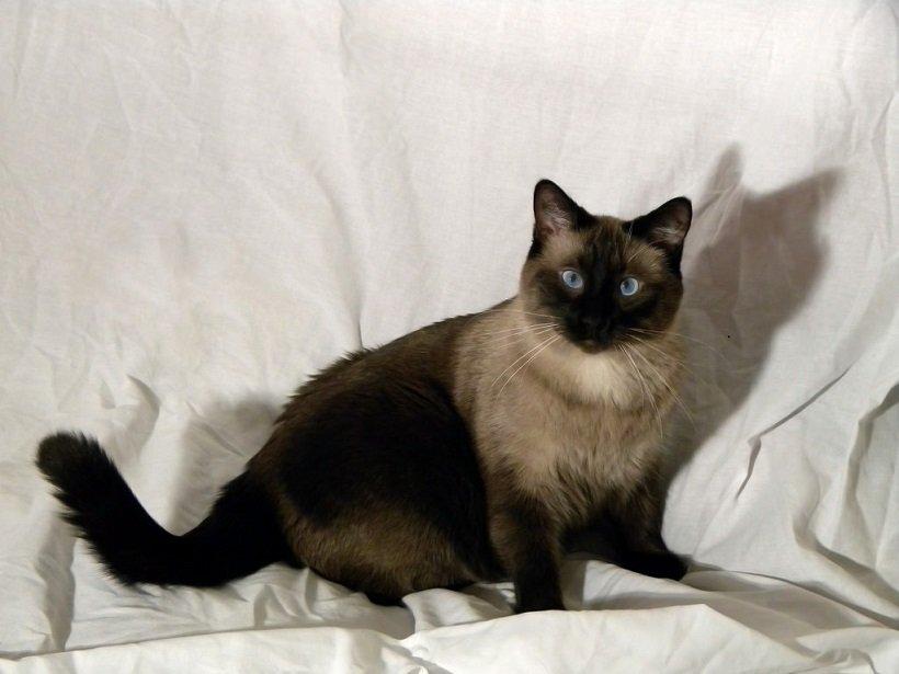 Foto Jenis Kucing Siam Applehead Lucu