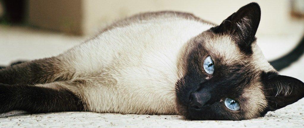 Gambar Kucing Siam Asli Thailand