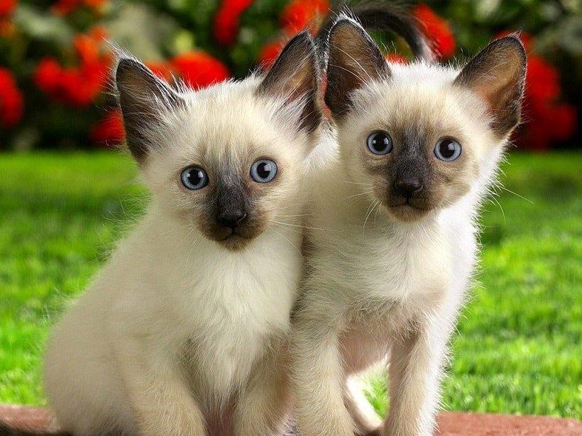 Kitten Anak Kucing Siam Lucu