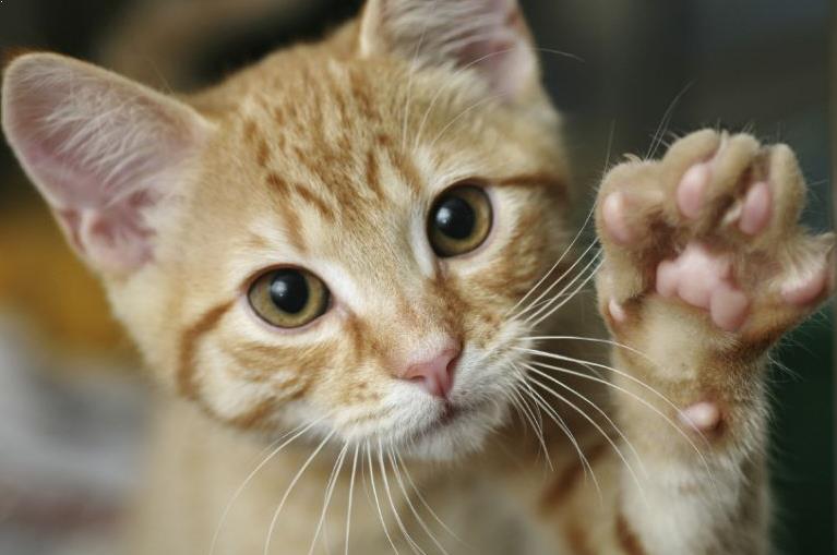 foto-kucing-domestik-lucu