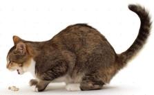 Penyebab Kucing Muntah Karena Bulu Kucing
