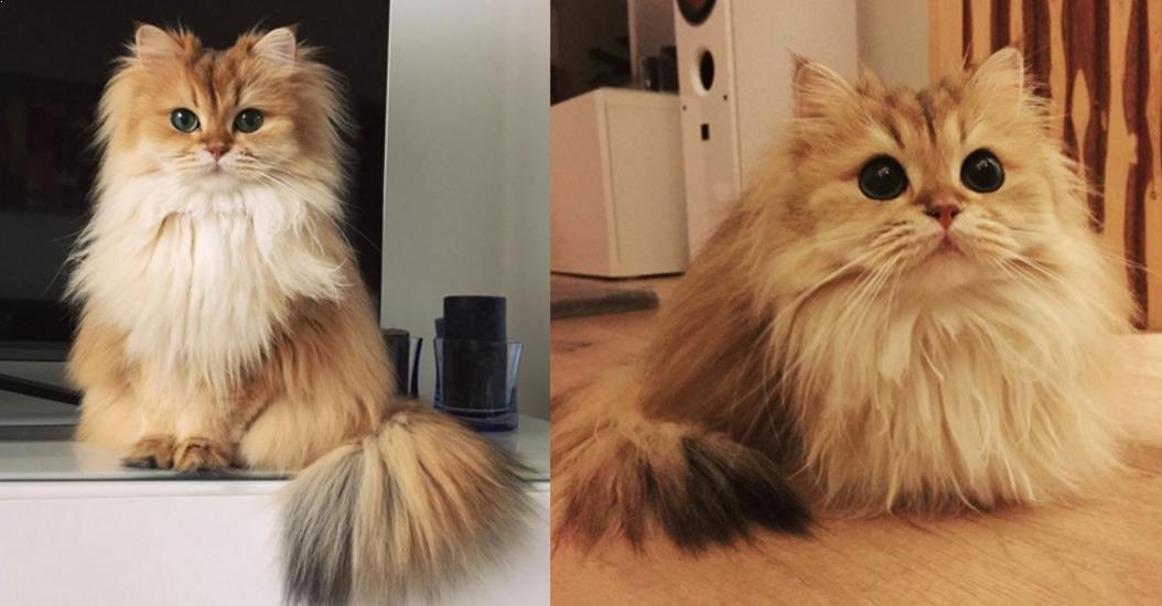 Cara Merawat Bulu Kucing Persia Agar Cantik
