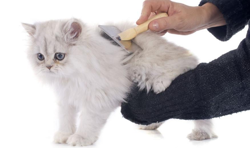 Cara Merawat Bulu Kucing Persia Dengan Disisir