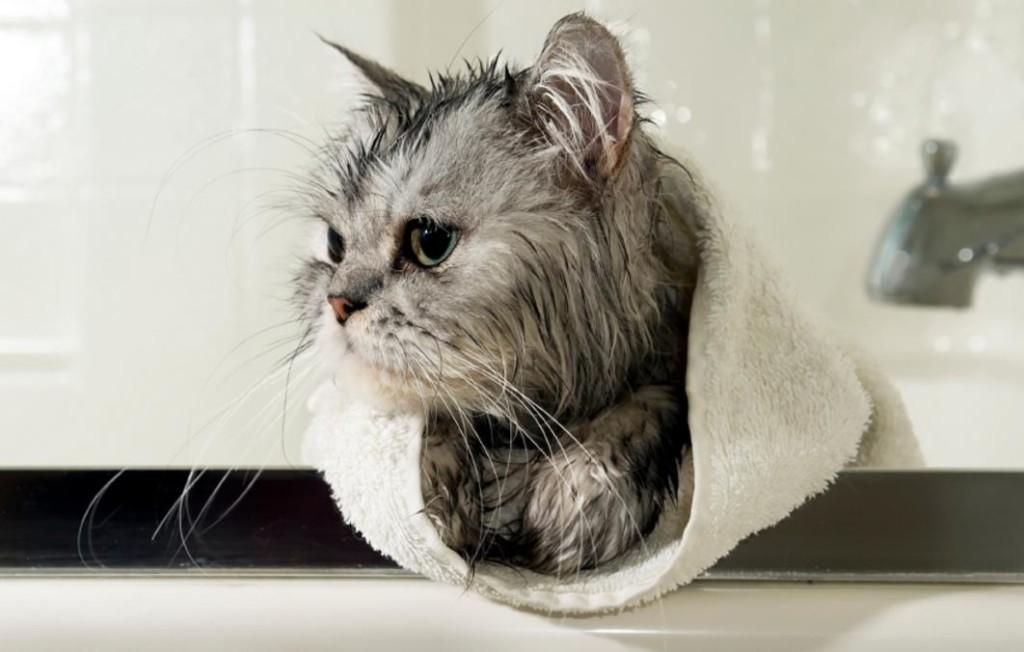 Merawat Bulu Kucing Dengan Cara Grooming