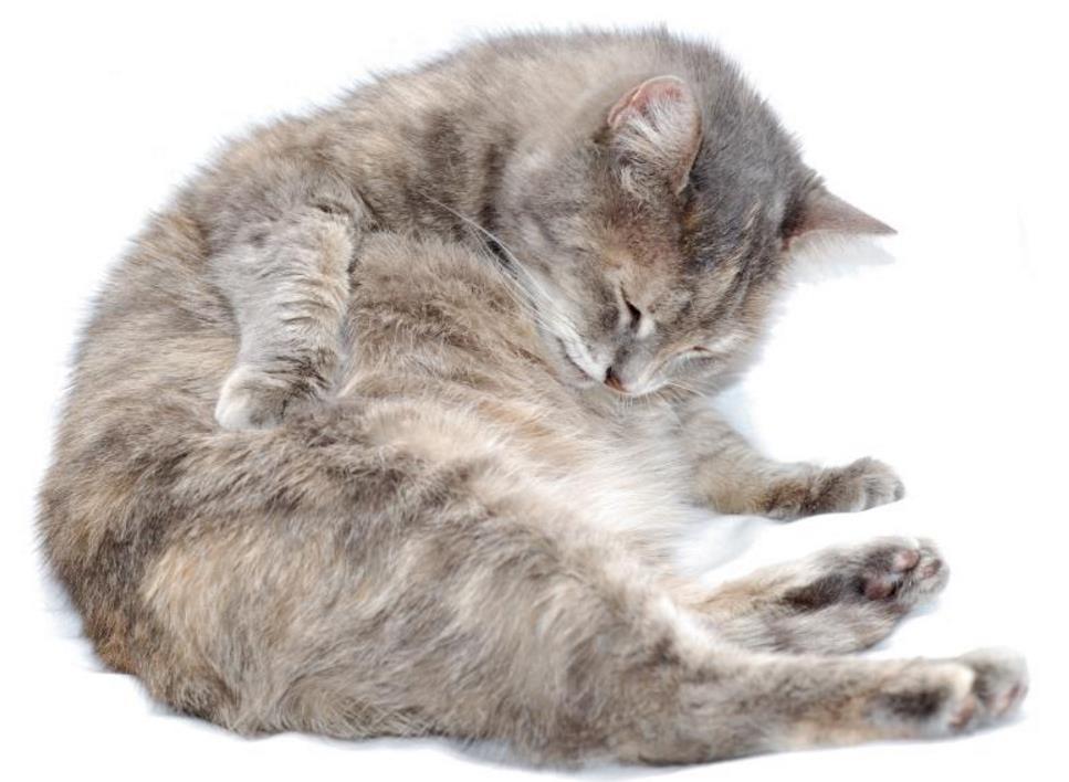 Foto Kucing Hamil