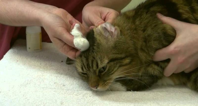Cara Membersihkan Telinga Kucing dengan Kapas