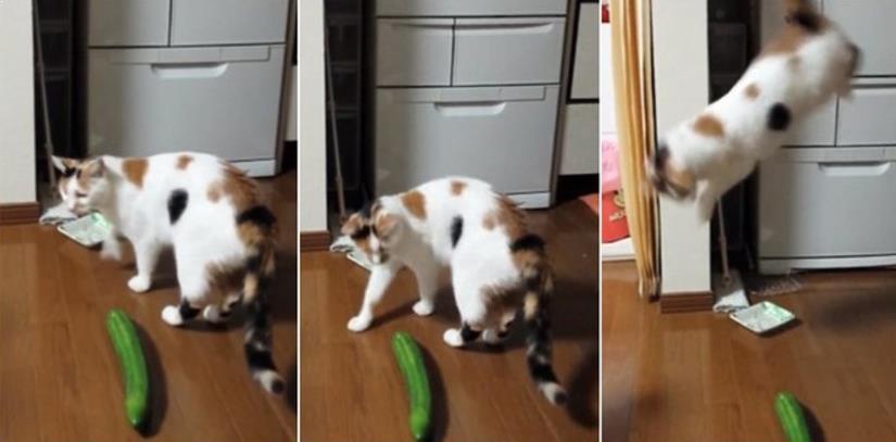 Foto Kucing Takut Timun