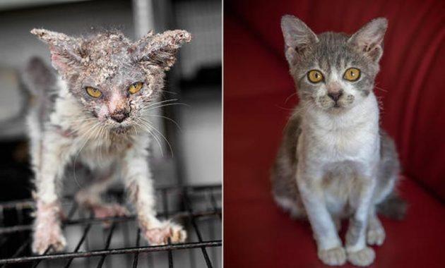 Gambar-Bahayanya-Scabies-Pada-Kucing