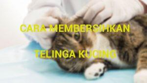 Gambar Cara Membersihkan Kucing Kucingpedia