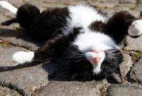 Cara Menjinakan Kucing Persia Liar