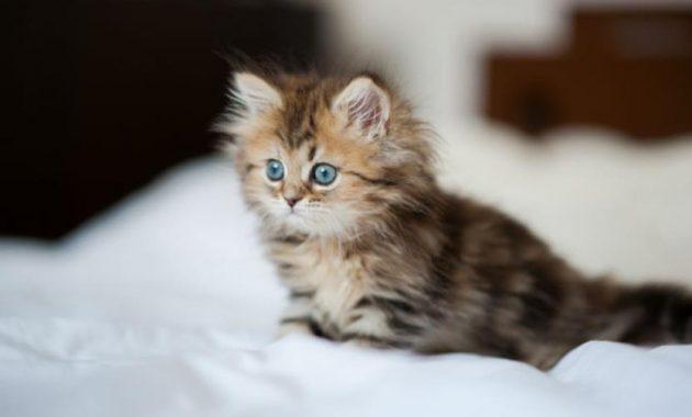 Gambar Cara Merawat Kucing Persia Agar Gemuk