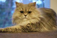 Gambar Harga Kucing Persia Warna Abu-Abu