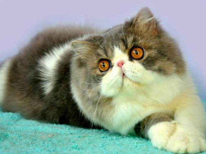 Gambar Kucing Persia Peaknose Terbaru