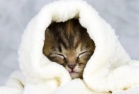 Ciri-ciri Kucing Demam Harus Diwaspadai