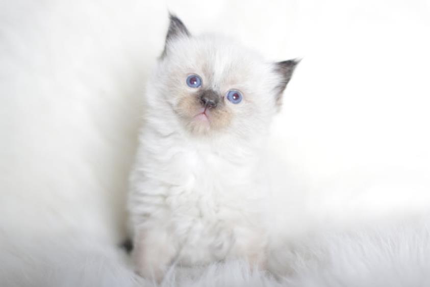 Foto Anak Kucing Ragdoll Lucu