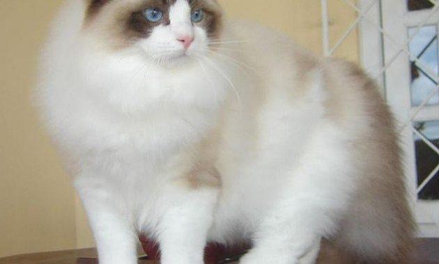 Gambar Kucing Ragdoll
