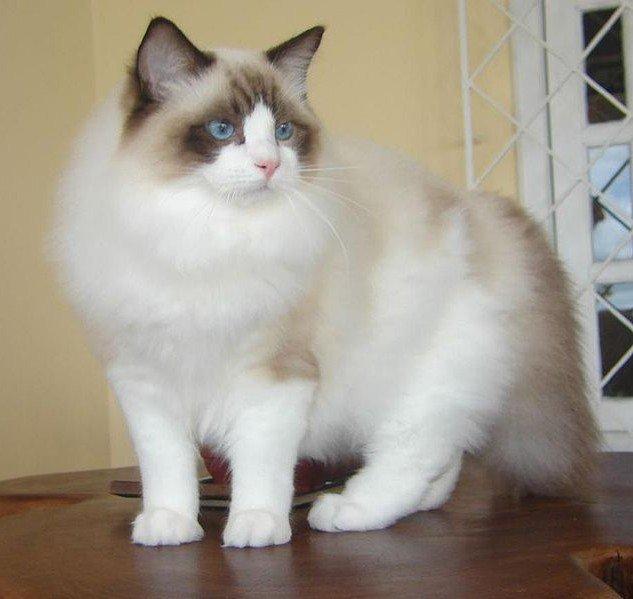 Foto Kucing Ragdoll Asli