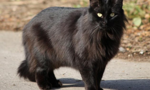 Kucing Persia Hitam Punya Mitos Juga Kah