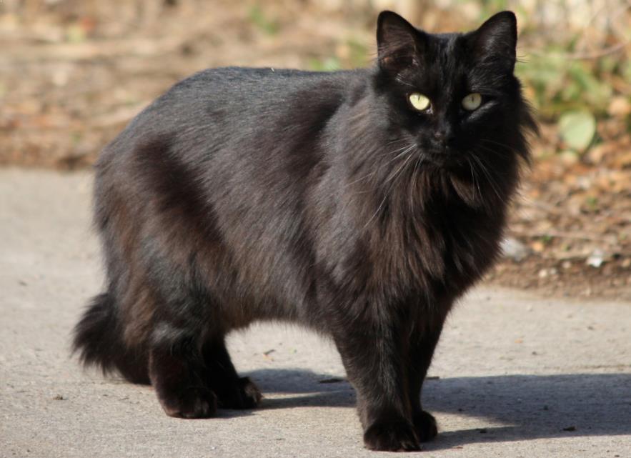 Kucing Hitam Jarang Diadopsi Karena Mitos Bawa Sial