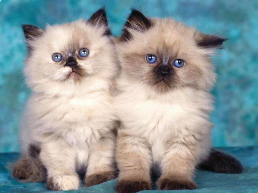 Download 76+  Gambar Kucing Himalaya Lucu Imut HD