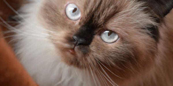 Foto Kucing Persia Himalaya Asli