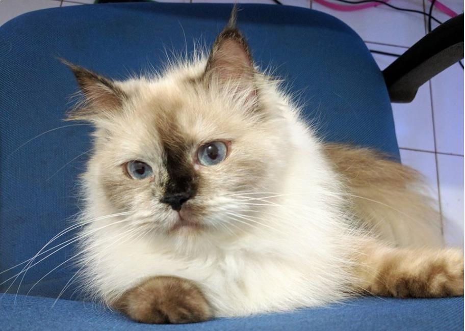 Kato si Kucing Persia Himalaya