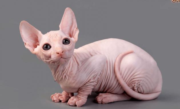 Gambar Anak Kucing Sphynx