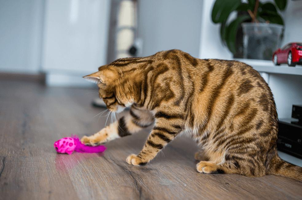Gambar Kucing Bengal Bermain