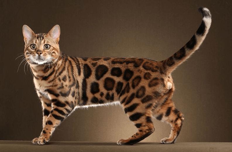 Download 66+ Gambar Kucing Hutan Keren Gratis