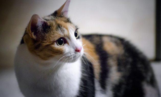 10 Fakta Dan Mitos Kucing Kembang Telon Lengkap