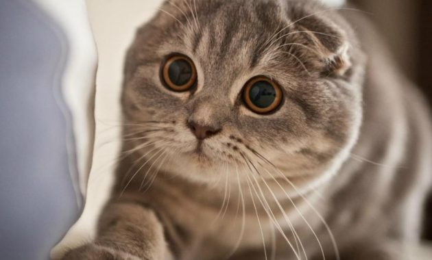 Gambar Kucing Scottish Fold Lucu