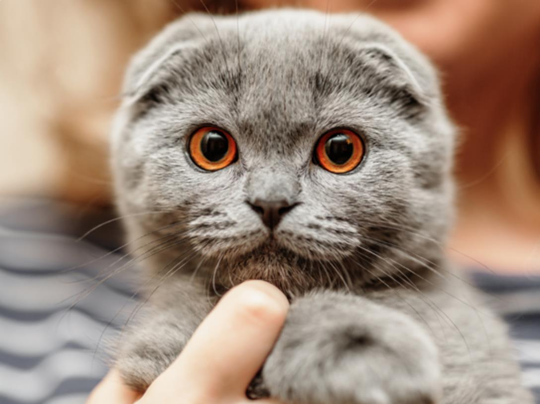 Kucing Scottish Fold Punya Banyak Keunikan