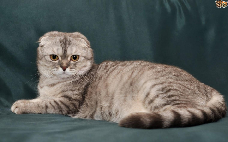 Pola dan Warna Bulu Kucing Scottish Fold Secara Umum