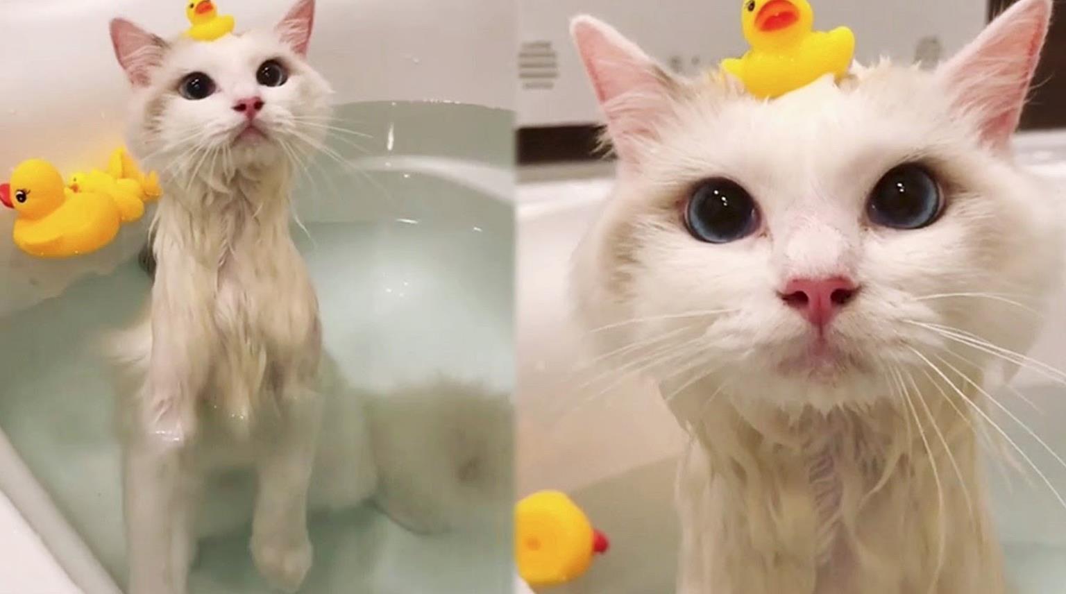 Foto Kucing Anggora Lucu Sedang Mandi