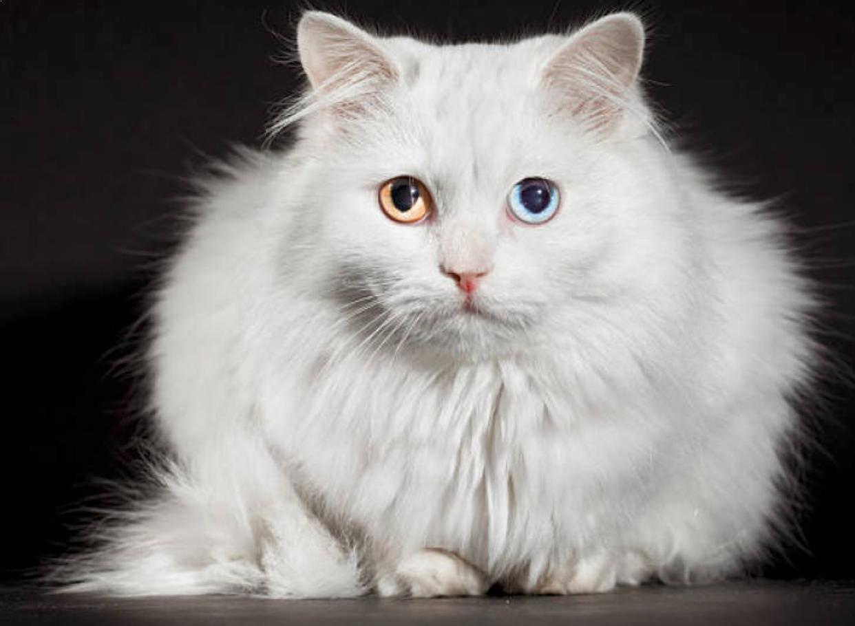 Gambar Kucing Anggora Turki Asli