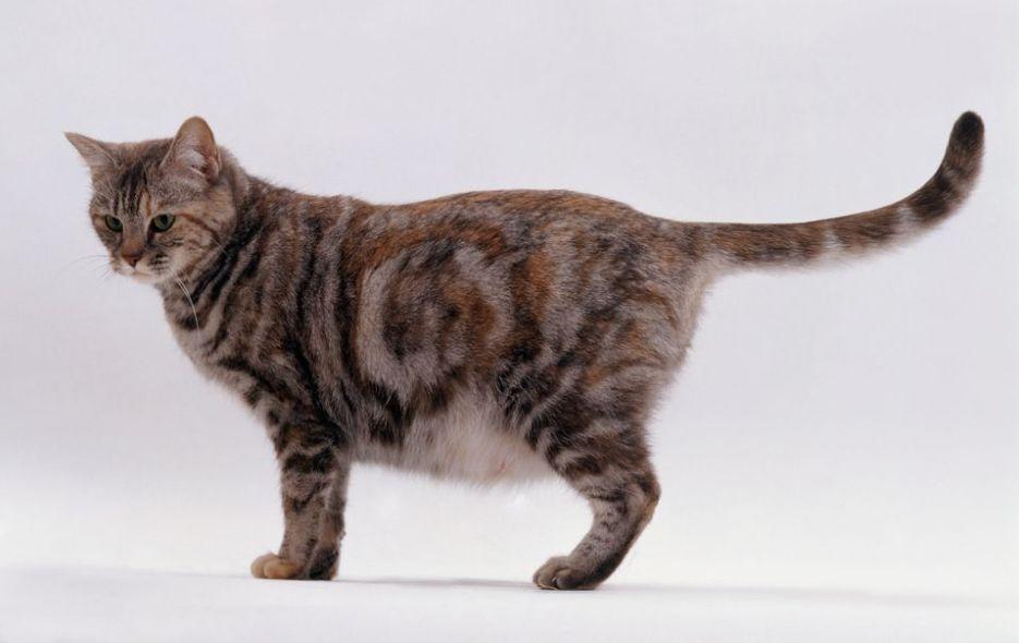 Gambar Kucing Hamil