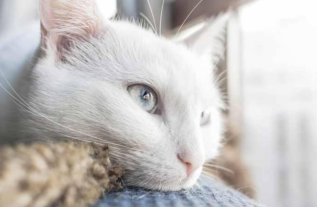 Apa penyebab mata kucing berair
