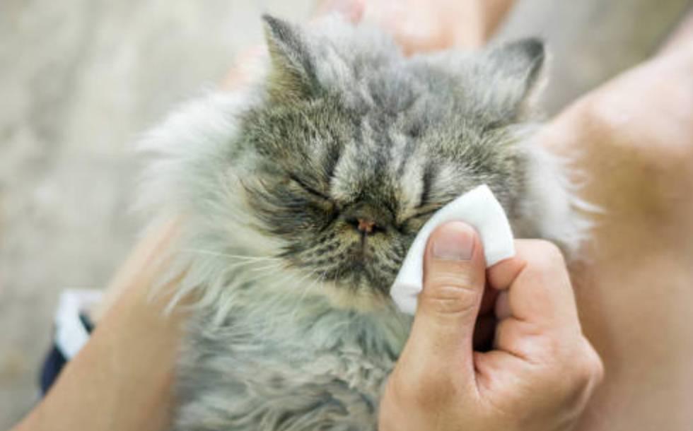 Membersihkan Kotoran Mata Kucing Berair